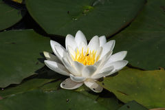 Seerose, Familie Nymphaeaceae Stockfoto
