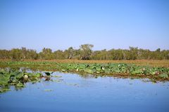 Seerose am gelben Wasser Billabong Stockbild