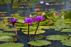 Seerose im dunklen Wasser Lizenzfreie Stockbilder