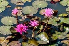Seerose im Teich, digitales Fotobild als Hintergrund lizenzfreie stockfotografie