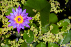 Seerose, Lotos des blauen Sternes, blaue Seerose Lizenzfreie Stockfotografie