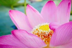 Seerose, Lotus Stockfoto