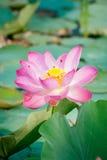 Seerose, Lotus Stockbilder