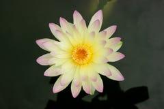 Seerose, Lotus auf Draufsicht Stockbilder