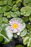 Seerose - Lotus-Blume und Blattlotos Stockbild