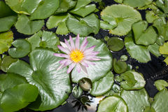 Seerose - Lotus-Blume und Blattlotos Lizenzfreie Stockbilder