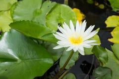 Seerose - Lotus-Blume und Blattlotos Lizenzfreies Stockbild