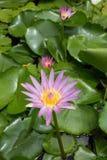 Seerose - Lotus-Blume und Blattlotos Stockfoto