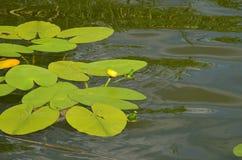 Seerose mit gelben Blumen auf einem See in Polen - Ferien und Sommerzeit stockbild