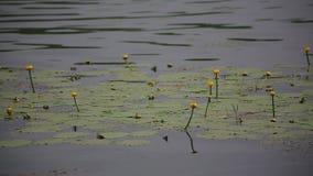 Seerose mit Grünblättern auf dem See stock video footage