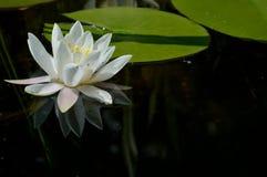 Seerose, Nymphaeaceae lizenzfreie stockbilder