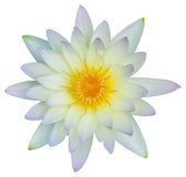 Seerose- oder Lotosblume Stockfotografie