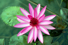 Seerose, rosa Lotus Flower Stockbilder