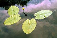 Seerose, Spritzendock, nenuphar im Wasser Lizenzfreies Stockfoto