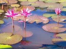 Seerose und Blatt im Teich Lizenzfreies Stockbild