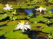 Seerose und Blatt im Teich Stockbild