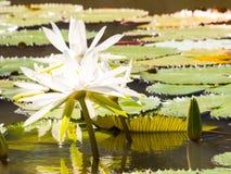 Seerose und Blatt im Teich Stockbilder