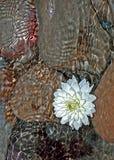 Seerose und Steine Stockfoto