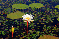Seerose. A white water lily on a lake Stock Photo