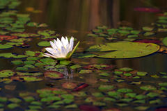 Seerose. A white water lily on a lake Royalty Free Stock Photo