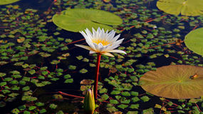 Seerose. A white water lily on a lake Royalty Free Stock Image