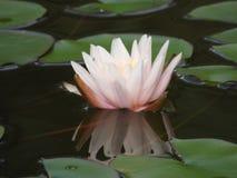 Seerose wird im Wasser reflektiert Lizenzfreies Stockfoto