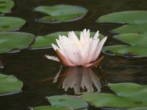 Seerose wird im Wasser reflektiert Stockbild