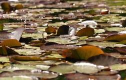 Seeroseauflagen auf einem Sonnenschein des Teichs im Frühjahr stockfotos
