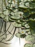 Seeroseblüte Stockfotografie