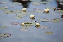Seeroseblume auf wildem Teich lizenzfreies stockfoto