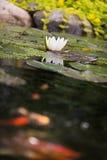 Seeroseblume mit Karpfen koi goldenen Fischen Lizenzfreies Stockfoto