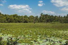 Seerosen auf dem Sumpfgebiet nahe Matara, Sri Lanka lizenzfreies stockbild