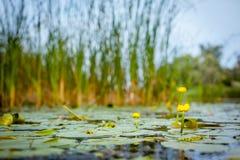 Seerosen auf einem Fluss Stockfoto