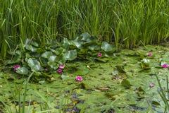 Seerosen auf einem Teich Stockfoto