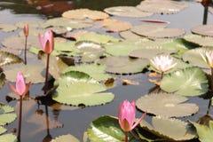 Seerosen auf einem Teich Stockbild