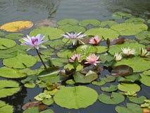 Seerosen auf Teich Lizenzfreie Stockfotos