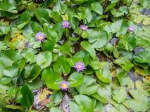 Seerosen an den Wasser-Gärten von Vaipahi, Tahiti, Französisch-Polynesien Lizenzfreie Stockfotos