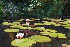 Seerosen Der Teich im Park von Pena Stockfotos