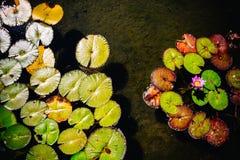 Seerosen, die in einem flachen Teich wachsen lizenzfreie stockbilder