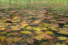 Seerosen füllten die Seen (die Republik Kongo) Lizenzfreie Stockfotografie