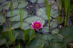 Seerosen, Nymphaea im Teich, Entspannung, exotisch stockbilder