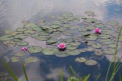 Seerosen, Nymphaea im Teich, Entspannung, exotisch stockfotos