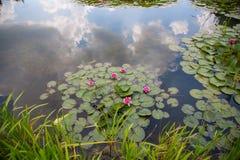 Seerosen, Nymphaea im Teich, Entspannung, exotisch lizenzfreies stockbild