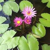 Seerosen und Lily Pads im Teich Stockfotos