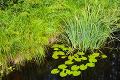 Seerosen und Schilfe im Wasser nahe dem grünen Ufer stockbild