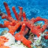 Seeroter Schwamm mit an der Unterseite von tropischem Meer Lizenzfreies Stockbild