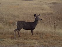 It sees you. Deer standing in a field. Alert to someone watching Stock Images