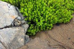 Seesandkraut nahe Felsen auf Sandstrand Lizenzfreies Stockbild