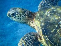 Seeschildkröte Lizenzfreies Stockbild