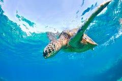 Seeschildkröte Lizenzfreie Stockbilder